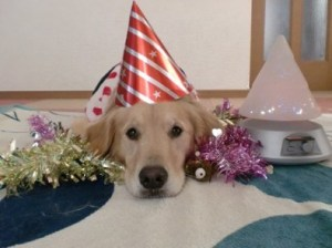 golden-retriever-waiting-for-the-party-to-start-e1387021368680