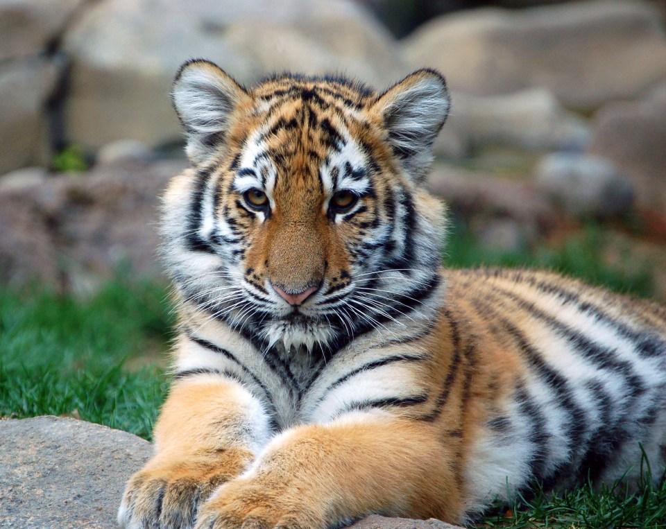 Big_Tiger_Cub.jpg
